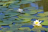 River with lilies — Stock Photo