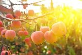 Small apples in a rays of sun — Stockfoto
