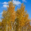 Autumn red birches — Stock Photo #12864043
