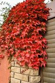 Brick wall in a red leaves — Stock Photo