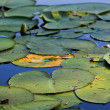 Stock Photo: Closeup water plants