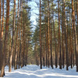 Stock Photo: Winter pine tree forest