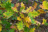 Желтые листья дуба — Стоковое фото