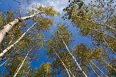 Slender birches on a blue sky background — Stock Photo