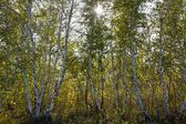 Birch grove in a rays of sun — Stock Photo