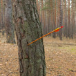 Stock Photo: Arrow hit pine tree