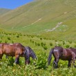 Horses on a mountain pasture — Stock Photo