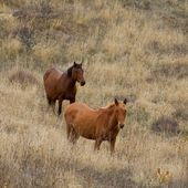 Brown horses on a pasture — Foto de Stock