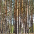 Slender pine trees in a forest - Stock Photo