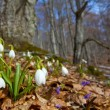 Spring snowdrops in a forest — Stock Photo