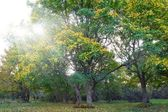 Oak trees in a rays of sun — Stockfoto