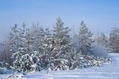 Pine tree forest in a snow — Stock Photo
