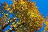 青空の背景に赤の秋ブナの木 — ストック写真