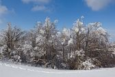 Winter pine tree forest — Stock Photo