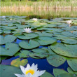 Stock Photo: White water lily