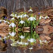 Snowdrop bush reflected in a water — Stock Photo