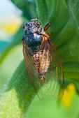 Большой цикады, сидя на цветке — Стоковое фото