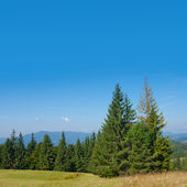 Summer pine tree forest — Stock Photo