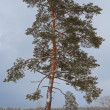 Closeup alone pine tree — Stock Photo
