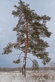 Portre yalnız çam ağacı — Stok fotoğraf