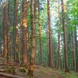 Summer pine tree forest — Stock Photo #18732355