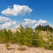Pine trees on a sand — Stock Photo