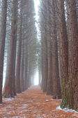 Quiet pine grove — Foto Stock