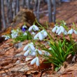 Stock Photo: Spring snowdrops