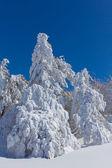 Yüksek çam ağacından bir kar — Stok fotoğraf