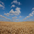 Wheat ear field by a summer day — Stock Photo
