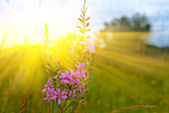 Steppe flowers in a rays of sun — Stok fotoğraf