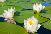 Three white lilies on a lake — Stock Photo