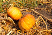 Two ripen pumpkin in a garden — Stock Photo