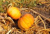 Two ripen pumpkin in a garden — Stock Photo