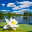 White lily flower floating on  a river - Stock Photo