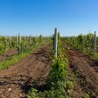 Stock Photo: Wineyard
