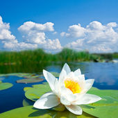 Closeup white water lily — Stock Photo