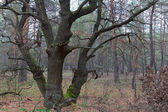 Old oak in a autumn forest — Stock fotografie