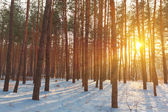 Winter forest in a rays of sun — Foto Stock