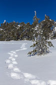 Hiker tracks in a winter forest — Stock Photo