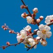Apple blossom on a blue sky background — Stock Photo