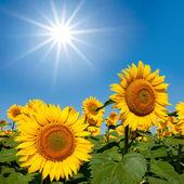 Beaux tournesols sous un soleil de sparkle — Photo