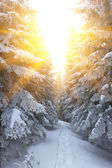 Pine forest in a rays of sun — Stock Photo