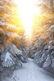 Las sosnowy w promienie słońca — Zdjęcie stockowe