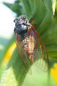 Big cicada sitting on a leaf — Stock Photo