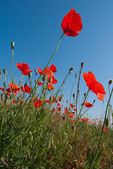 Closeup red poppy on a blue sky background — Stock Photo