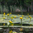 Closeup yellow lilies on a lake — Stock Photo #21796415