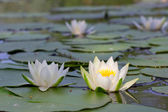 Two closeup water lily — Stock Photo