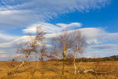 Birch in a steppe — Stock Photo