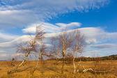 在草原桦木 — 图库照片